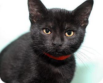 Domestic Shorthair Kitten for adoption in Royal Oak, Michigan - MARION