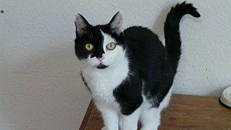 Domestic Shorthair Cat for adoption in Santa Monica, California - Callie