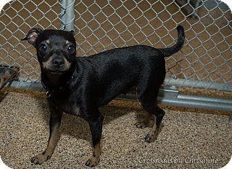 Miniature Pinscher Mix Dog for adoption in Sierra Vista, Arizona - Dollie