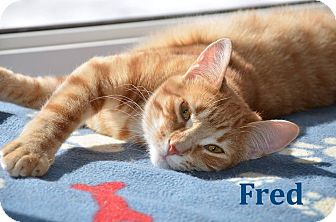 Domestic Shorthair Cat for adoption in Huntsville, Ontario - Fred - Adopted December 2016