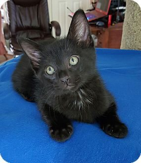 Domestic Shorthair Kitten for adoption in Plano, Texas - COAL - HANDSOME BLACK PANTHER