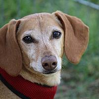 Adopt A Pet :: Maverick - Henderson, NV