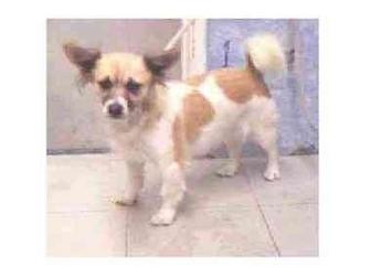 Pembroke Welsh Corgi/Papillon Mix Dog for adoption in Lomita, California - Sessca