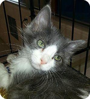 Domestic Longhair Kitten for adoption in Fenton, Missouri - Maria
