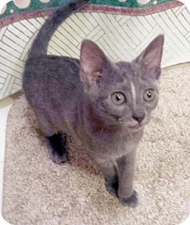 Domestic Shorthair Kitten for adoption in Bulverde, Texas - Grayson 2