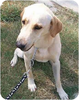 Labrador Retriever Mix Dog for adoption in Cumming, Georgia - Hudson