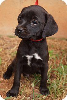 Boston Terrier/Dachshund Mix Puppy for adoption in Newark, Delaware - Nugget