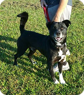 Akita/Labrador Retriever Mix Dog for adoption in Lisbon, Ohio - Scooter