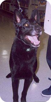 Belgian Shepherd Mix Dog for adoption in Lafayette, Louisiana - Black Buck