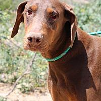 Doberman Pinscher Dog for adoption in Fillmore, California - Cruiser