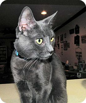 Domestic Shorthair Cat for adoption in Norwich, New York - Tri Pod Jack