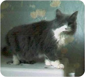 Domestic Longhair Cat for adoption in Harlan, Iowa - Sophie