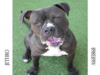 Bullmastiff/Staffordshire Bull Terrier Mix Dog for adoption in Los Angeles, California - JETHRO