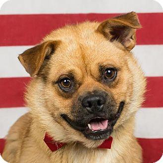 Pug/Beagle Mix Dog for adoption in Columbia, Illinois - Rocco
