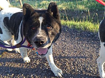 Akita Dog for adoption in Toms River, New Jersey - Bear