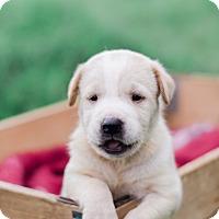 Adopt A Pet :: Hyde $250 - Seneca, SC