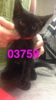 Domestic Shorthair/Domestic Shorthair Mix Cat for adoption in Kiln, Mississippi - EMMY