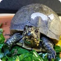Adopt A Pet :: Aristurtle - Burlingame, CA