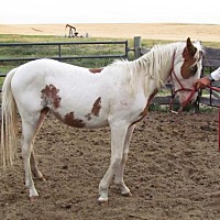 Adopt A Pet :: Diamond - milk river, AB