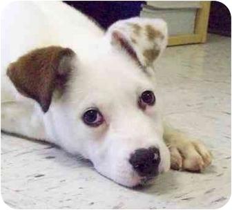 Terrier (Unknown Type, Medium)/Pit Bull Terrier Mix Puppy for adoption in HARRISONVILLE, Missouri - SUGAR