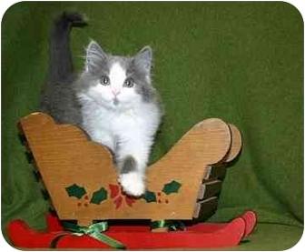 Domestic Longhair Kitten for adoption in Ladysmith, Wisconsin - Vincenzo