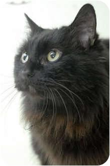 Domestic Longhair Cat for adoption in Murphysboro, Illinois - Electra