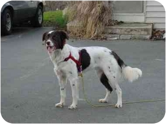 Brittany/Border Collie Mix Dog for adoption in Altoona, Pennsylvania - Henley-ADOPTED