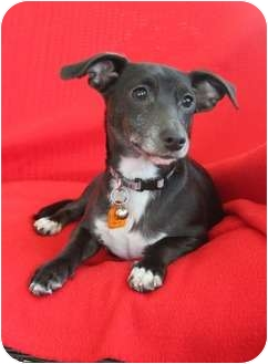Dachshund/Terrier (Unknown Type, Small) Mix Dog for adoption in Wichita, Kansas - Mickey