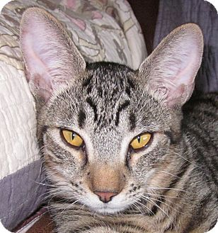 Bengal Cat for adoption in Winchester, California - Daxton