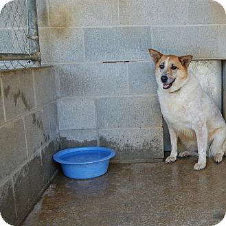 Shepherd (Unknown Type)/Australian Cattle Dog Mix Dog for adoption in Hot Springs, Arkansas - Chelsea