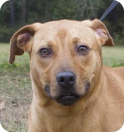 Catahoula Leopard Dog/Plott Hound Mix Dog for adoption in Gainesville, Florida - Caesar