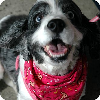 Cocker Spaniel Dog for adoption in Sacramento, California - Oreo