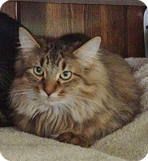 Domestic Longhair Cat for adoption in Byron Center, Michigan - Stuffin