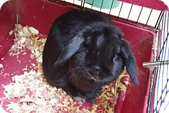 Lop, Holland Mix for adoption in Elyria, Ohio - Nibbles