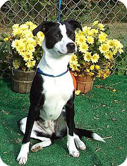 Boston Terrier Mix Dog for adoption in Marietta, Georgia - DESTINY