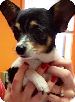 Chihuahua Dog for adoption in Oswego, Illinois - Jelly Bean