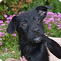 Adopt A Pet :: Iris - South Jersey, NJ