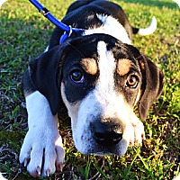 Adopt A Pet :: *Bonnie - PENDING - Westport, CT