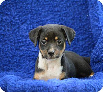 Border Collie Mix Puppy for adoption in Groton, Massachusetts - Watson