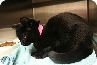 Domestic Shorthair Kitten for adoption in Marietta, Georgia - JETTA AKA LOLA