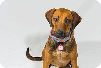 Rhodesian Ridgeback/Hound (Unknown Type) Mix Dog for adoption in Austin, Texas - Xena