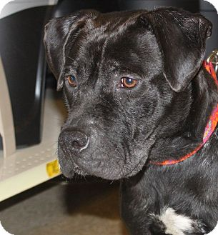 Labrador Retriever/Pit Bull Terrier Mix Dog for adoption in Staunton, Virginia - Trace