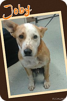 Australian Cattle Dog Mix Puppy for adoption in Apache Junction, Arizona - Joby