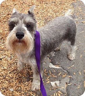 Schnauzer (Miniature) Dog for adoption in Redondo Beach, California - Lucy