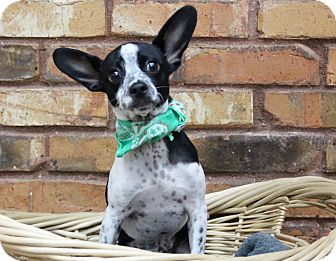 Chihuahua/Rat Terrier Mix Puppy for adoption in Benbrook, Texas - Radar