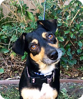 Miniature Pinscher Mix Dog for adoption in Irvine, California - OLIVER