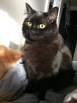 Domestic Longhair Cat for adoption in Santa Ana, California - Stella (Courtesy Listing)