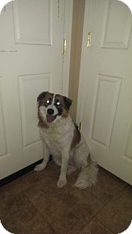 Border Collie/St. Bernard Mix Dog for adoption in Phoenix, Arizona - Beethoven