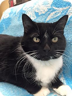 Domestic Shorthair Cat for adoption in Maryville, Missouri - Boots
