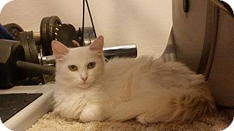 Domestic Shorthair Cat for adoption in St. Louis, Missouri - Kacie